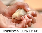 feeding chicks from the hand to ... | Shutterstock . vector #1347444131
