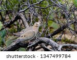 A Pair Of Mourning Doves ...