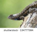 Eastern fence lizard 2