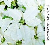 White Poinsettias  Christmas...
