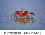 Red Rock Crab  Grapsus Grapsus  ...