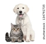 Stock photo golden retriever puppy weeks old sitting next to a british shorthair isolated on white 134792735