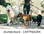 Stock photo dog walker enjoying with dogs while walking outdoors 1347966284