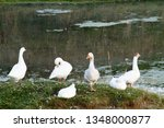 White Geese On The Shore Of Th...