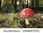 Fly Agaric Mushroom  Closeup....