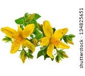 Common St. Johnswort Flower  ...