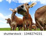 curious brown cattle on a... | Shutterstock . vector #1348274231