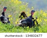 Wild Turkeys In A Field Of...