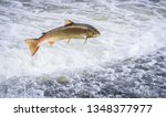 Small photo of An Atlantic salmon (Salmo salar) jumps out of the water at the Shrewsbury Weir on the River Severn in an attempt to move upstream to spawn. Shropshire, England.