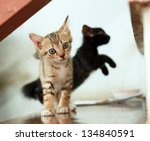 Stock photo close up european kittens playing 134840591