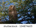 Small photo of Great Horned Owl in a Mesquite Tree at Ague Caliente Park near Tucson, Arizona.