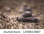 A Poisonous Snake Crawling...