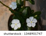 close up white plumeria on the... | Shutterstock . vector #1348901747