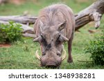 male warthog standing in the... | Shutterstock . vector #1348938281
