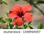 Red Hibiscus flower also known as Jamaica flower culinary use as tea, other use for paper elaboration.