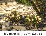 Yellow Crocus Blossoms...
