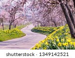 Flowering Almond Trees And...