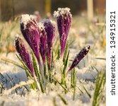 crocus blooming in the snow | Shutterstock . vector #134915321