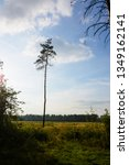 lonely pine tree on the... | Shutterstock . vector #1349162141