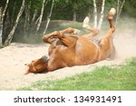 Nice Chestnut Horse Rolling In...