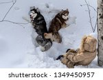 Stock photo two dogs lying in the deep snow with a young girl top view pets with the hostess walking in the 1349450957