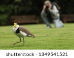 masked lapwing birdwatching... | Shutterstock . vector #1349541521