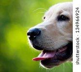 Stock photo labrador puppy 134966924