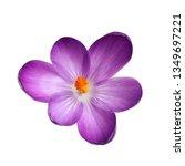 Beautiful Spring Crocus Flower...