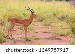 impala ram starring at the... | Shutterstock . vector #1349757917