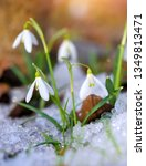 snowdrops  galanthus  in the... | Shutterstock . vector #1349813471