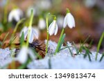 snowdrops  galanthus  in the... | Shutterstock . vector #1349813474