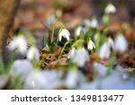 snowdrops  galanthus  in the... | Shutterstock . vector #1349813477