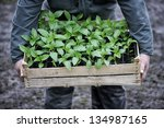 Old man hands holding a wooden box full of young plants. - stock photo