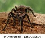 Small photo of Closeup female of spider tarantula (Lasiodora parahybana) on the snag on green leaves background.