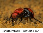 "Female Cow Killer Velvet ""ant""..."