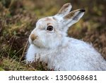 Stock photo the mountain hare also known alpine hare or irish hare is a palearctic hare that is largely 1350068681