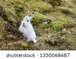 Stock photo the mountain hare also known alpine hare or irish hare is a palearctic hare that is largely 1350068687