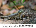 lizard tropidurus sp. | Shutterstock . vector #1350287951
