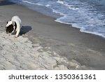 cute french bulldog is walking... | Shutterstock . vector #1350361361