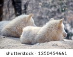 white arctic wolf couple canis... | Shutterstock . vector #1350454661