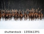 Red Deer Herd  Cervus Elaphus ...