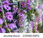 Beautiful purple, white Hono Hono orchids (Dendrobium anosmum), a species of epiphytic orchid, native to South East Asia, hanging down, cascade of flowers, displayed for sale, Kaneohe, Oahu,  Hawaii.