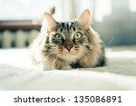 grey cat lying on bed   Shutterstock . vector #135086891