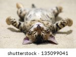 Stock photo the small british kitten sleeps 135099041
