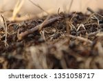 Formica Rufa. Red Forest Ant In ...