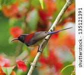 Small photo of Beautiful red bird, male Black-throated Sunbird (Aethopyga saturata), standing on a branch