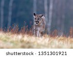cougar  puma concolor   also... | Shutterstock . vector #1351301921