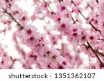 almond blossoms on a tree | Shutterstock . vector #1351362107