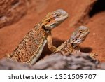 two young bearded dragons close ... | Shutterstock . vector #1351509707