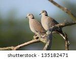 Ring Necked Dove  Streptopelia...